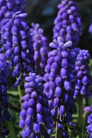 ots of fresh grapes blue hyacinths in the spring next to each size view photo