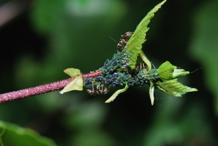 many aphids on a branch with ants in the spring photo