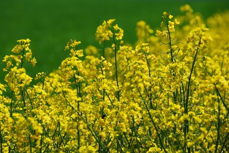 beautiful plant fresh flowers on a field of yellow canola in spring Stock Photo - 15523120
