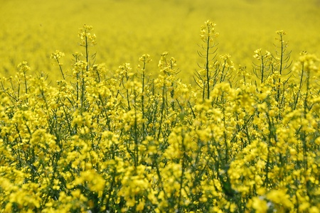 nice fresh yellow canola field in spring Stock Photo - 15523114