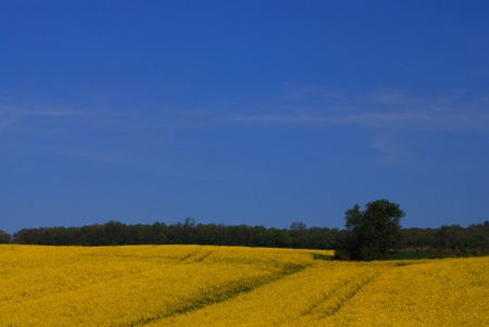 beautiful fresh yellow rape fields side by side with blue sky in spring Stock Photo - 15523119