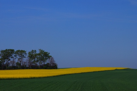 yellow rape field with green field and blue sky in spring Stock Photo - 15523091