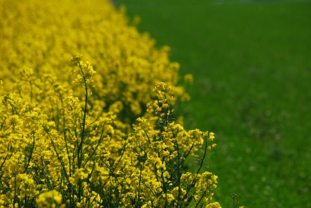 nice fresh yellow rape field and green field next to each other in the spring Stock Photo - 15523116