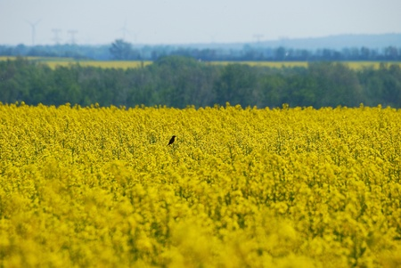 little bird sitting in the sun on a spring bloom in canola field Stock Photo - 15604544