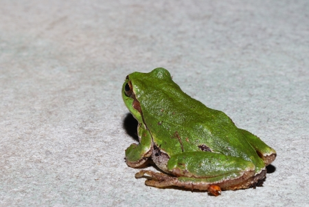 green tree frog sitting on a white granite plate in the sun and looks photo