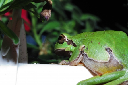 small green tree frog on a white sitter in the garden and pot in the sun photo