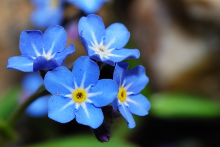 fresh blue forget-me-not flower in the garden and great view spring Archivio Fotografico
