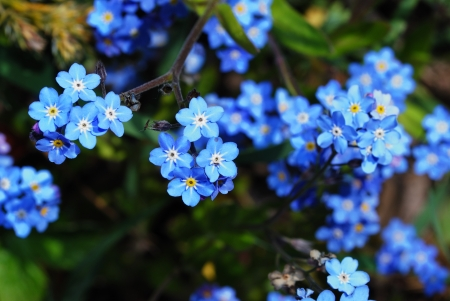 fresh blue forget-me-not flower in the garden and spring from the top