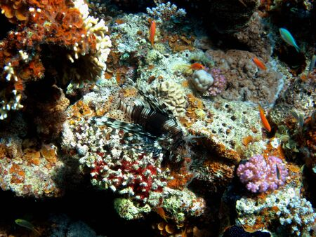 rea: large red rea fire fish at colorful coral Stock Photo