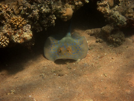stingrays: blue point stingrays hiding under coral reef in the red sea