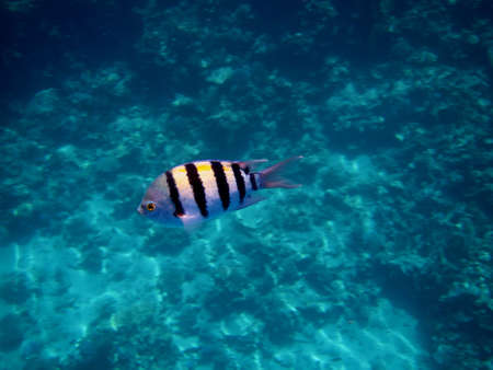 small striped fish sergeant in the blue water in the sea