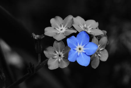 forget me not flower photo montage blue gray photo