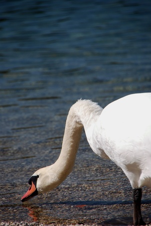 white swan drinking water at the lake in the summer photo
