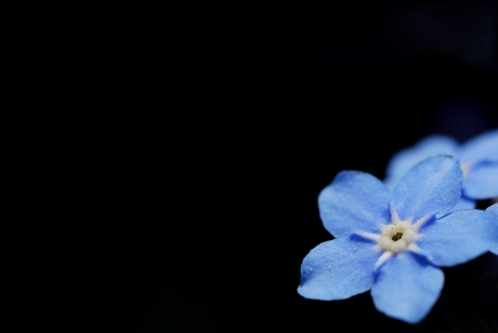 fresh blue forget me not on black background