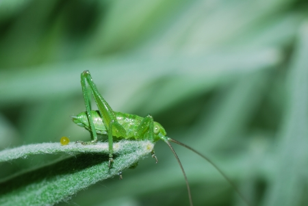 small green grasshopper sitting on a blade tip in the garden and summer photo
