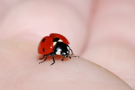 little red ladybug sits on a hand of the skin in summer photo