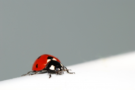 red ladybug on white diagonal surface left photo