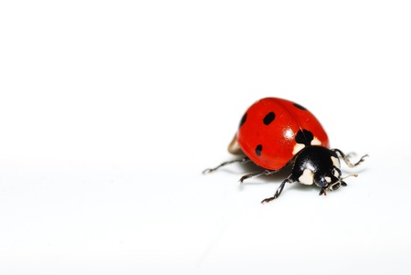red ladybug on white background right photo