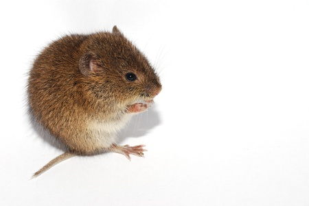 young little brown mouse on white background left photo