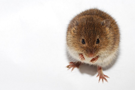 young little brown mouse on white background right photo