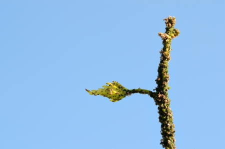many green aphids on a branch with blue sky background photo