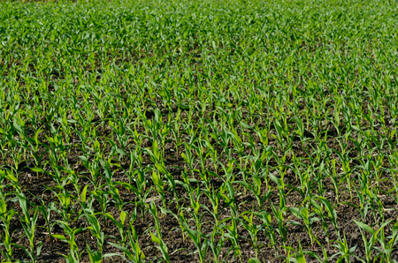 field with corn on the cob plant in summer photo