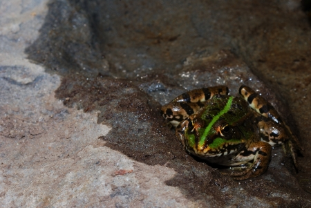 green frog on wet rock photo