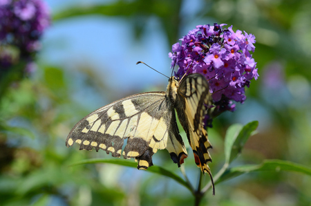 depends: big beautiful swallowtail butterfly depends on a lilac flower in summer Stock Photo