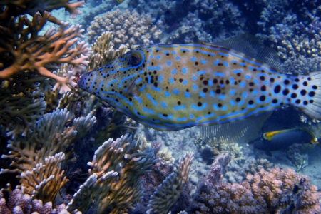 hone: blue hone fish very close to the dive on vacation
