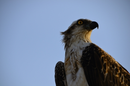 sea side: large sea eagle looking to the side