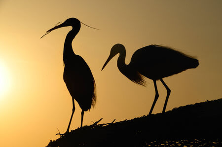 two great heron at the gathering of straw in the sunset photo