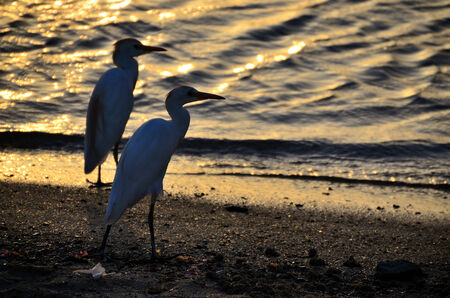 two grey heron at sunset at the beach on vacation photo