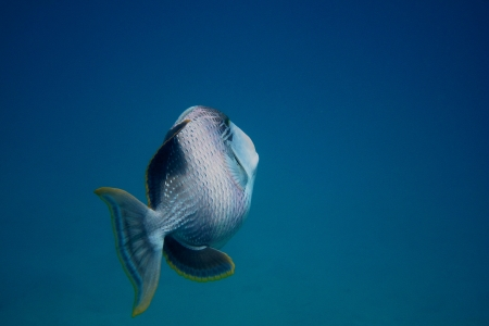 large yellowmargin triggerfish swims in the blue sea while dive Stock Photo - 24599589