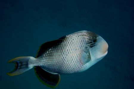 large yellowmargin triggerfish in the sea when dive view from the side Stock Photo - 24599590