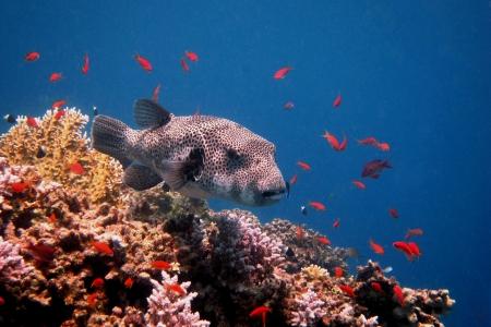 pez globo: pez globo gigante flotando en el colorido de coral en el mar Foto de archivo