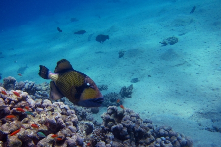giant triggerfish and lots of colorful coral in the sea Stock Photo - 24593816