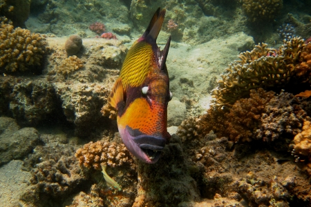 giant triggerfish swims past the diving Stock Photo - 24593817