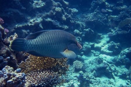 napoleon fish: large napoleon fish in the sea when diving