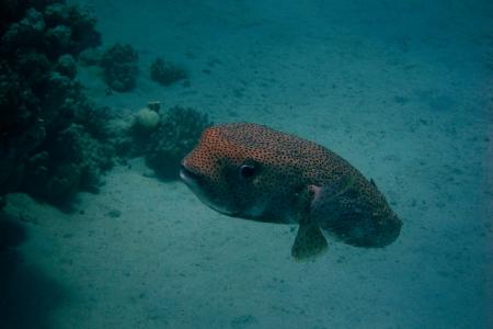 pez globo: pez globo gigante en el oc�ano en la inmersi�n Foto de archivo