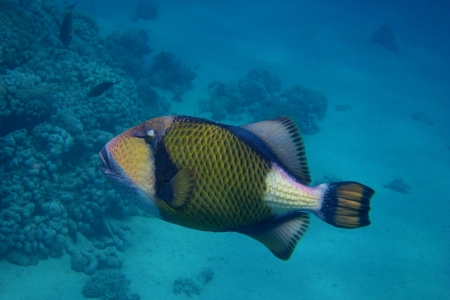 giant triggerfish floating in the blue sea pushers in egypt Stock Photo - 24593947