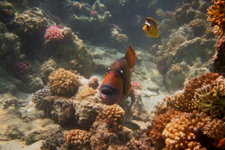 giant triggerfish at coral in the sea Stock Photo - 24593949