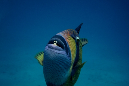 giant triggerfish shows the teeth when diving in the sea Stock Photo - 24593967