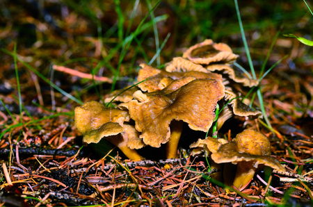 scrumptious: brown mushrooms with yellow stalk in the autumn and forest