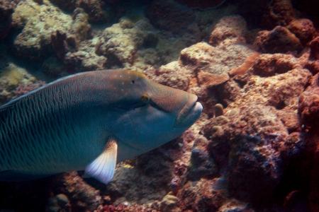 napoleon fish: napoleon fish while diving in the sea Stock Photo