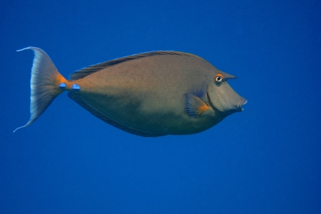 surgeon fish: big nose surgeon fish and blue sea in egypt Stock Photo
