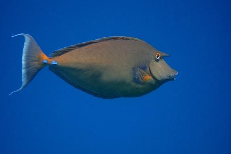 surgeon fish: nariz grande cirujano pescado y mar azul en egipto