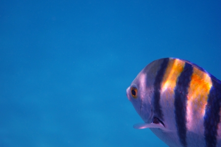 sergeant fish in the blue sea while diving