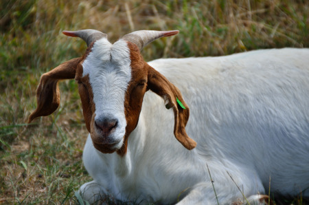 brown white goat on pasture photo