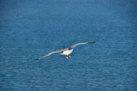 white gull flies at the blue sea photo