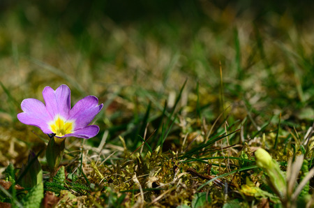 small purple flower: small purple flower in the garden and spring